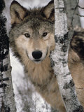 Gray Wolf, Canis Lupus, Staring from Behind the Trees, North America Fotoprint van Joe McDonald