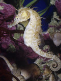 Seahorse (Hippocampus) Photographic Print by Ken Lucas