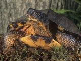 Wood Turtle, Clemmys Insculpta, Emydidae, a Threatened Species, North America Fotografie-Druck von Gustav W. Verderber