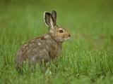 Snowshoe Hare in In its Brown Summer Fur, Lepus Americanus, North America Fotoprint av John & Barbara Gerlach