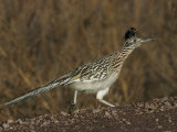 Greater Roadrunner Reproduction photographique par John Cornell