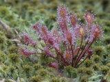 Sundew, Drosera Rotundifolia, Insectivorous Plants Growing in a Mossy Bog, Eastern USA Fotoprint av John & Barbara Gerlach