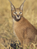 Caracal, Caracal Caracal, Namibia, Africa Photographic Print by Joe McDonald