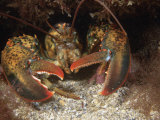 American Lobster Head, Homarus Americanis, Atlantic Coast of North America Lámina fotográfica por David Wrobel
