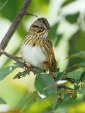 Lincoln's Sparrow, Melospiza Lincolnii, North America Reproduction photographique par Adam Jones
