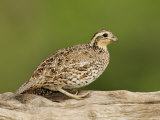 Northern Bobwhite, Colinus Virginianus, Female, Eastern USA Reproduction photographique par John Cornell