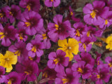 Fremont's Monkey Flowers, Mimulus Fremontii, California, USA Fotoprint av John & Barbara Gerlach