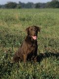 Chocolate Labrador Retriever Variety of Domestic Dog Photographic Print by Cheryl Ertelt