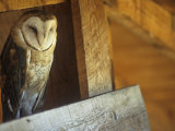 Barn Owl, Tyto Alba, on Barn Rafters, a Threatened Species, North America Photographic Print by Joe McDonald