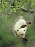 An Opossum Hangs by its Tail in Black Cherry Tree. Ohio, USA Fotografie-Druck von Steve Maslowski