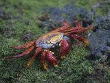 Sally Lightfoot Crab, Grapsus Grapsus, Galapagos Islands, Ecuador Fotoprint av John & Barbara Gerlach