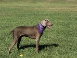 Weimaraner Variety of Domestic Dog Fotoprint van Cheryl Ertelt