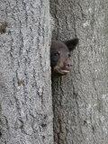 Black Bear Cub Peeking from Behind Tree Fotografie-Druck von Gustav W. Verderber