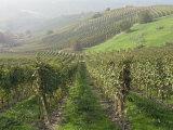 Vineyards Near Serralunga D'Alba, Piedmont, Italy, Europe Lámina fotográfica por Robert Cundy