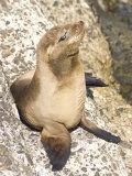 Baby Harbor Seal, Child's Beach, La Jolla, Near San Diego, California, USA Lámina fotográfica por Ethel Davies