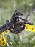 Captive Baby Raccoon, Animals of Montana, Bozeman, Montana, USA Lámina fotográfica por James Hager