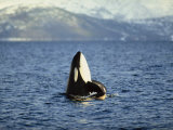 Killer Whale Spy Hopping with Calf in an Arctic Fjord, Norway, Scandinavia, Europe Photographic Print by Dominic Harcourt-webster
