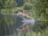 Mountain Lion or Cougar Jumping into the Water, in Captivity, Sandstone, Minnesota, USA Photographic Print by James Hager