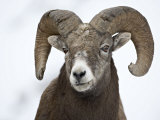 Bighorn Sheep Ram in the Snow, Yellowstone National Park, Wyoming, USA Lámina fotográfica por James Hager