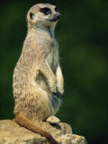 Meerkat on Look-Out, Marwell Zoo, Hampshire, England, United Kingdom, Europe Fotografisk tryk af Ian Griffiths