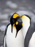 King Penguin Pair Pre-Mating Behaviour, Salisbury Plain, South Georgia Photographic Print by James Hager