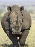 White Rhinoceros, Kruger National Park, South Africa, Africa Fotografisk tryk af James Hager