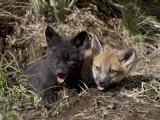 Red Fox Kits, One Black Phase, in Captivity, Animals of Montana, Bozeman, Montana, USA Lámina fotográfica por James Hager