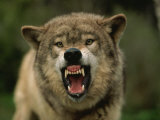 Grey Wolf Growling, Montana, United States of America, North America Fotografisk tryk af James Gritz
