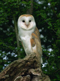Barn Owl, Warwickshire, England, United Kingdom, Europe Reproduction photographique par Rainford Roy