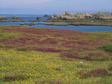Wild Flowers on the Shore and the Rocky Coast of the Ile D'Ouessant, Finistere, Brittany, France Fotografisk trykk av Miller John