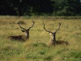 Deer, Richmond Park, Surrey, England, United Kingdom, Europe Fotografisk trykk av Miller John