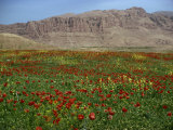 Wild Flowers Near Shiraz, Iran, Middle East Fotografisk trykk av Harding Robert