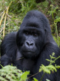 Mountain Gorilla Silverback, Kongo, Rwanda, Africa Fotografisk tryk af Milse Thorsten