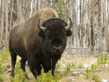 Bison, Yellowstone National Park, UNESCO World Heritage Site, Wyoming, USA Fotografisk tryk af Pitamitz Sergio
