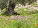 Wildflowers and Olive Tree, Near Halawa, Jordan, Middle East Fotografie-Druck von Schlenker Jochen