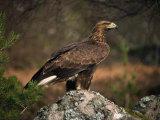 Portrait of a Golden Eagle, Highlands, Scotland, United Kingdom, Europe Reproduction photographique par Rainford Roy