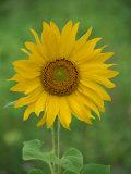 Sunflower, Provence, France, Europe Reproduction photographique par Rainford Roy
