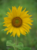 Sunflower, Provence, France, Europe Photographic Print by Rainford Roy