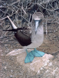 Blue Footed Booby, Galapagos Islands, Ecuador, South America Fotografie-Druck von Sassoon Sybil