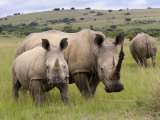 White Rhino, and Calf, Ithala Game Reserve, Kwazulu Natal, South Africa Fotografisk tryk af Toon Ann & Steve