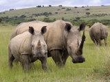 White Rhino, and Calf, Ithala Game Reserve, Kwazulu Natal, South Africa Photographic Print by Toon Ann & Steve