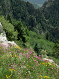 Wild Flowers on the Sandia Crest, Near Albuquerque, New Mexico, USA Photographic Print by Westwater Nedra