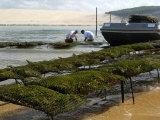 Oyster Fishermen Grading Oysters, Bay of Arcachon, Gironde, Aquitaine, France Fotografie-Druck von Groenendijk Peter