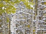 Snow Covered Aspens and Firs, Maroon Bells, Colorado, USA Lámina fotográfica por Terry Eggers