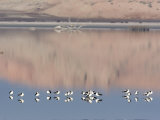 American Avocet, Salton Sea Area, Imperial County, California, USA Reproduction photographique par Diane Johnson