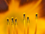 Closeup of day lily stamen, Arlington, Virginia, USA Photographic Print by Corey Hilz