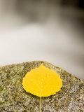An aspen leaf next to a stream in a Forest in Grafton, New Hampshire, USA Impressão fotográfica por Jerry & Marcy Monkman