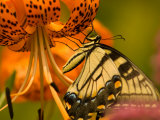 Eastern Tiger Swallowtail Butterfuly Feeding on Orange Tiger Lily, Vienna, Virginia, USA Photographic Print by Corey Hilz