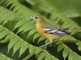 Baltimore Oriole, Central Valley, Costa Rica Reproduction photographique par Rolf Nussbaumer