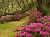 Pink Azaleas and Live Oaks, Magnolia Plantation, Charleston, South Carolina, USA Photographic Print by Corey Hilz
